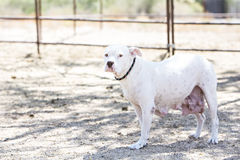 Cane bianco che esamina macchina fotografica Fotografia Stock Libera da Diritti