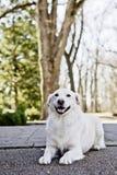 Cane bianco che pone sulla terra in una sosta Fotografie Stock Libere da Diritti