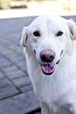 Cane bianco che pone sulla terra in una sosta Immagini Stock Libere da Diritti