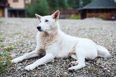Cane bianco che si trova nell'iarda Fotografia Stock Libera da Diritti