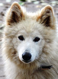 Cane bianco con gli occhi gentili Fotografie Stock