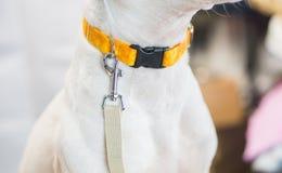 Cane bianco con il guinzaglio che aspetta per andare a fare una passeggiata, con spazio bianco vuoto fotografie stock libere da diritti