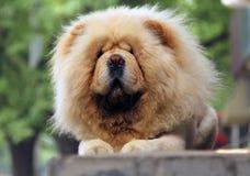 Cane bianco del chow-chow fotografie stock
