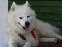 Cane bianco del husky Immagini Stock