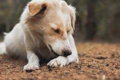 Cane bianco di Brown che si trova sulla sporcizia frantumata in parco Immagini Stock Libere da Diritti