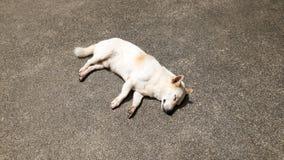 Cane bianco di sonno Immagini Stock Libere da Diritti