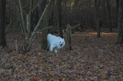 Cane bianco dietro l'albero Fotografie Stock
