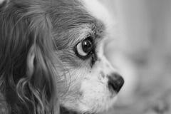 Cane in bianco e nero Immagine Stock Libera da Diritti
