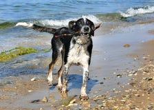 Cane in bianco e nero che gioca rumorosamente sulla spiaggia fotografia stock libera da diritti