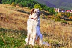 Cane bianco e nero e montagne Fotografie Stock