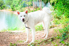 Cane bianco femminile Akita giapponese Akita Inu Fotografia Stock