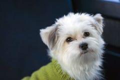 Cane bianco lanuginoso Fotografia Stock Libera da Diritti
