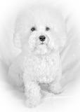 Cane bianco lanuginoso del frise di Bichon Immagini Stock