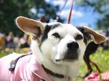 Cane bianco medio Immagine Stock Libera da Diritti