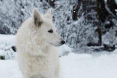 Cane bianco nella neve Immagine Stock