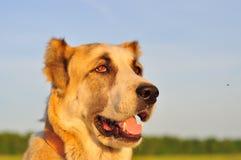 cane bianco Rosso che si siede su un campo verde, erba verde Porto animale Fotografia Stock