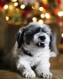 Cane bianco simile a pelliccia che allunga e che sbadiglia Fotografia Stock