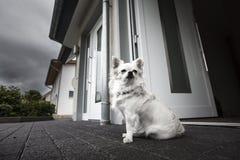 Cane bianco sveglio Immagini Stock