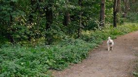 Cane bianco sveglio di West Highland Terrier che sembra attento ed allegro con il fondo vago della natura stock footage