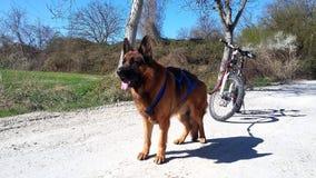 Cane Bikejöring del progetto di Male del pastore tedesco fotografia stock
