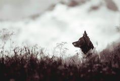 Cane - border collie in bianco e nero - che si siede sul prato, montagne su fondo Fotografie Stock
