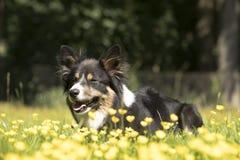 Cane, border collie, trovantesi nell'erba con i fiori gialli Fotografia Stock Libera da Diritti