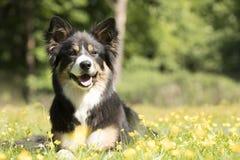 Cane, border collie, trovantesi nell'erba con i fiori gialli Immagini Stock Libere da Diritti