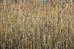 Cane brake on a pond in winter Stock Photography