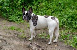 Cane, bulldog francese Immagine Stock