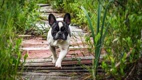Cane, bulldog francese Fotografia Stock