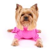 Cane in camici rosa Fotografia Stock Libera da Diritti