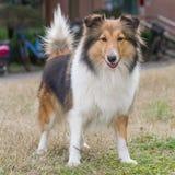 Cane, cane pastore di Shetland Immagine Stock Libera da Diritti
