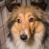 Cane, cane pastore di Shetland Immagine Stock