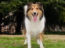 Cane, cane pastore di Shetland Fotografia Stock Libera da Diritti