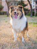 Cane, cane pastore di Shetland Immagini Stock Libere da Diritti