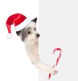 Cane in cappello di Santa con il bastoncino di zucchero di Natale che sta dietro il bianco immagine stock