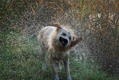 Cane che agita fuori dall'acqua Immagini Stock
