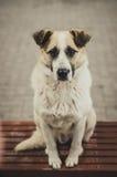 Cane che aspetta un ospite Immagini Stock