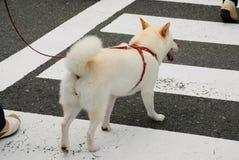 Cane che attraversa il vicolo pedonale Fotografia Stock