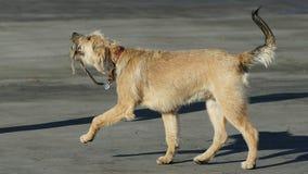 Cane che cammina con il suo cavo Fotografia Stock Libera da Diritti