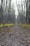 Cane che cammina giù un percorso Immagine Stock Libera da Diritti