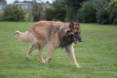 Cane che cammina nell'erba Fotografia Stock