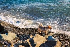 Cane che cammina sulla riva di mare rocciosa Fotografia Stock Libera da Diritti