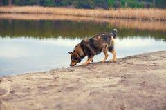 Cane che cammina sulla sponda del fiume Immagini Stock Libere da Diritti