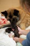 Cane che cattura cura del cucciolo appena nato Fotografia Stock Libera da Diritti