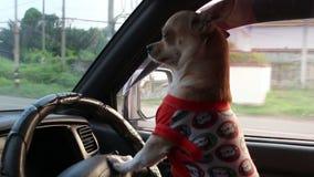 Cane che conduce automobile archivi video