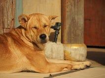 Cane che dorme sul sole Fotografie Stock