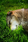 Cane che dorme sulla fine dell'erba su Immagine Stock Libera da Diritti