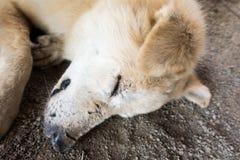Cane che dorme sulla terra Fotografia Stock Libera da Diritti