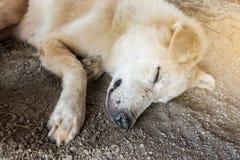 Cane che dorme sulla terra Fotografia Stock